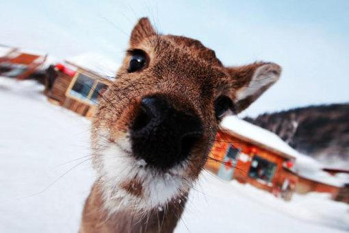 还有傻狍子在雪地里奔跑?拿起相机与可爱萌翻的傻袍子拍张照吧!