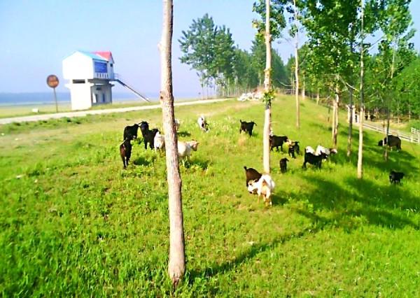 可爱的羊群,绿草地上黑白分明