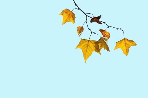 秋天的梧桐树叶.