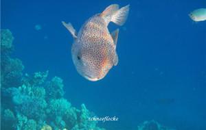 【红海图片】潜水天堂-埃及红海赫尔格达(Hurghada),超详细旅游游记攻略,海量照片+视频。11月4日更新大量高清海底照片!浮潜天堂!