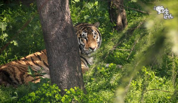 久违了野生动物园(附加猎豹跑步的视频)                   东北虎