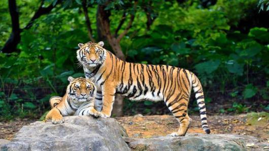 番禺长隆野生动物园大熊猫+树熊(考拉)+白虎1日游