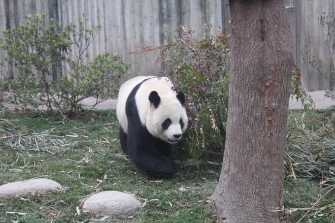 壁纸 大熊猫 动物 680_453