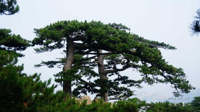 泰山松树图片大全集